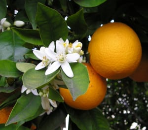 oranges 300x264 7 Superfoods that Naturally Boost Your Immunity