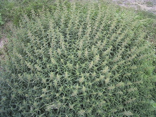 Urtica dioica large stand Every Man Needs to Take This